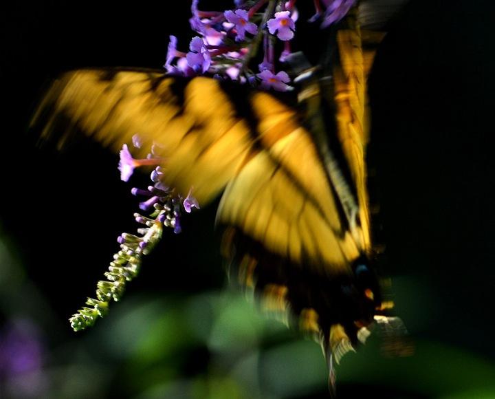 Hot Butterfly